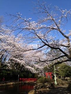 2013 sakura yono.JPG